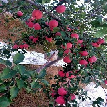 3公分苹果树苗主产区价格图片