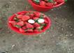 新疆伊犁哈薩克牛奶草莓苗主產區價格