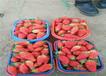 新疆伊犁哈薩克露天草莓苗主產區售價