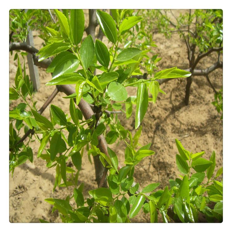 新疆枣树苗 大量枣树苗 枣树苗价格