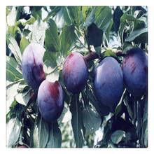 果树苗李子苗果树苗木批发优质嫁接李子树苗进口品种图片