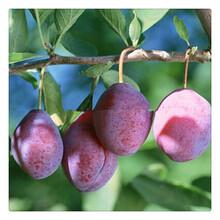 长期批发早熟三华李苗优质李子苗基地进口品种图片