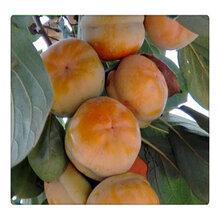 3公分的柿子苗批發占地果樹苗基地直銷品種齊全圖片