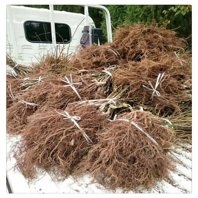 黄心猕猴桃苗多少钱一棵 ,软枣猕猴桃苗基地,   品质优良
