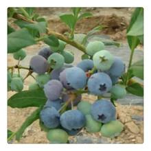 基地热销优质蓝莓树苗,品种蓝莓苗,送种植技术资料易管理图片