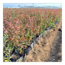蓝莓苗,山东直销优质蓝莓苗,品种齐全蓝莓苗,基地现货,杜克蓝莓苗庭院绿植苗图片