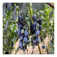 哪里有蓝宝石蓝莓苗,奥尼尔蓝莓苗价格,送种?#24067;?#26415;资?#23777;?#36882;包邮图片