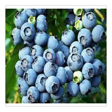 2019蓝莓苗价格,基地直销,批发优质蓝莓苗,送种植技术资料一级樱桃苗图片