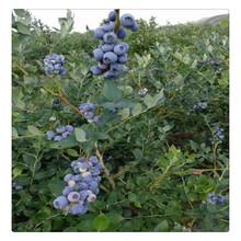 蓝莓苗,山东直销优质蓝莓苗,品种齐全蓝莓苗,基地现货,杜克蓝莓苗适合南北方种植图片