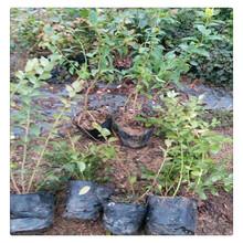 哪里有奥尼尔蓝莓苗,蓝丰蓝莓苗价格,送种植技术资料多买多送图片