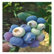 大量现货供应优质蓝莓苗,蓝莓苗价格,南高丛蓝莓苗庭院绿植苗图片