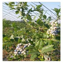 山东组培蓝莓苗批发,优质蓝莓苗,高产蓝莓苗,保证成活进口品种图片