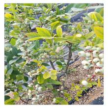 组培蓝莓苗,蓝莓苗价格,当年结果蓝莓苗,场地实拍盆栽蓝莓苗丰产易成活图片