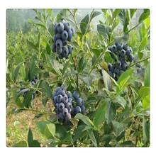 大量现货供应优质蓝莓苗,蓝莓苗价格,南高丛蓝莓苗可盆栽地栽图片