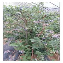 提供优质蓝莓苗种植技术,蓝丰蓝莓苗的种植前景,盆栽蓝莓苗价格送技术指导图片