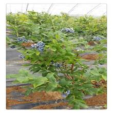 蓝莓苗批发,布里吉塔蓝莓苗品种纯,成活率高产量高,农村致富品质优良图片