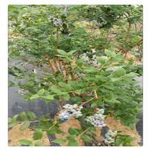 大量供应北陆蓝莓苗价格,蓝莓苗批发价格,蓝莓种?#24067;?#26415;?#30475;?#21487;从优图片