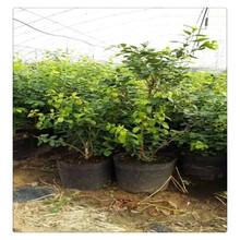 蓝莓苗,山东直销优质蓝莓苗,品种齐全蓝莓苗,基地现货,杜克蓝莓苗提供种植技术图片