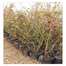 提供优质蓝莓苗种植技术,蓝丰蓝莓苗的种植前景,盆栽蓝莓苗价格现挖现卖图片