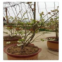 高营养蓝莓苗,好吃蓝莓大量出售蓝莓,早熟结果蓝莓苗死苗免费补发图片