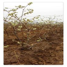 公爵蓝莓苗多少钱一棵,薄雾蓝莓苗价格,送种植技术资料抗旱能力强图片
