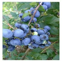 大量现货供应优质蓝莓苗,蓝莓苗价格,南高丛蓝莓苗现挖现卖图片