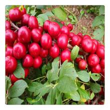 批发钙果苗欧李果苗,基地苗圃直供优质钙果苗,可盆栽地栽图片