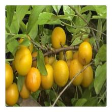 批发钙果苗欧李果苗,基地苗圃直供优质钙果苗,庭院绿植苗图片