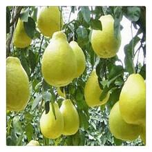 供应占地梨树苗,梨树苗价格便宜,价格优惠中图片