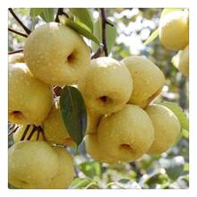 新梨七号梨树苗多少钱一棵,新品种梨树苗快递包邮可盆栽图片
