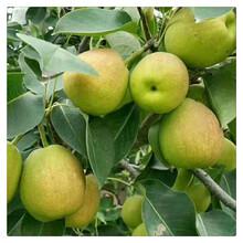 供应占地梨树苗,梨树苗价格便宜,果树苗规格齐全图片