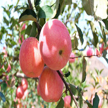 贵州维纳斯黄金苹果苗价格新品种果树图片