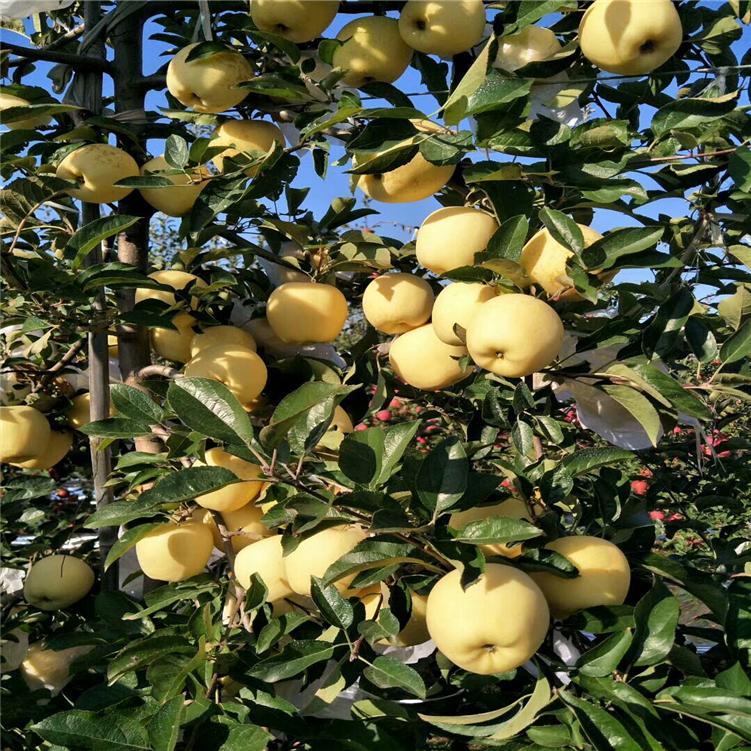 22404 杨凌苹果苗