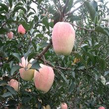 宁夏回族自治区维纳斯黄金苹果苗出售价格维纳斯黄金苹果苗多少钱一棵果树苗价格图片