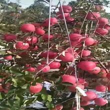 43197陕西杨凌秦脆苹果苗图片