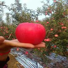 41618哪里有正宗秦脆苹果苗图片