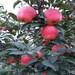 吉林维纳斯黄金苹果苗维纳斯黄金苹果苗价格送种植技术光盘