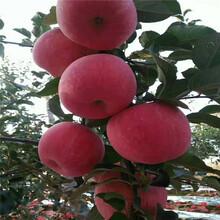 5260烟台大果山苹果苗图片