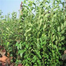 李子苗新品种价格紫叶李子苗快递包邮可盆栽图片