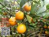 廉江红橙多少钱一斤