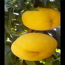 新品种桃苗现在价格是多少?新买的桃树苗几年后能结果图片
