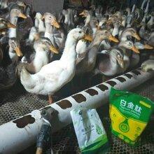 鸡催肥素,肉鸭催肥剂,肉鸭催肥剂厂家,鸽子催肥剂,鸡鸭鹅专用催肥药