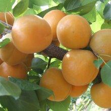 哪有杏树苗嫁接杏树苗优质量杏树苗量大优惠图片