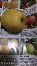 遼寧早金酥梨苗基地早熟梨新品種介紹圖片