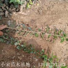 山梨丁子苗批發0.5米以下價格0.25元/株山梨丁子苗價格圖片