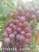 新疆葡萄無籽葡萄弗雷無核葡萄費雷葡萄苗價格