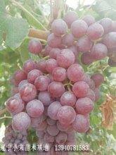 新疆葡萄无籽葡萄弗雷无核葡萄费雷葡萄苗价格