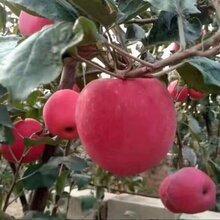 二刀矮化望乡红苹果苗多少钱一颗苹果苗批发报价