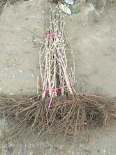 西双版纳傣族自治州西双版纳傣族自治州美国大榛子苗行业领航者图片