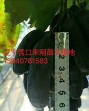 衢州市衢州市甜蜜藍寶石葡萄苗市場價格圖片